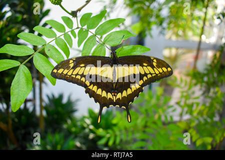 Grand porte-queue (Papilio cresphontes papillon).