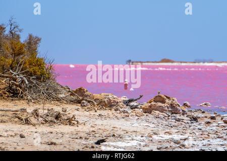 Bois mort et des cristaux de sel à la plage du lac rose à côté de Gregory à l'ouest de l'Australie Banque D'Images