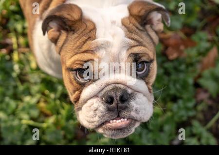 Issaquah, Washington, USA. Portrait d'un six mois Bulldog anglais 'Pétunia' à la vers le haut. (PR) Banque D'Images