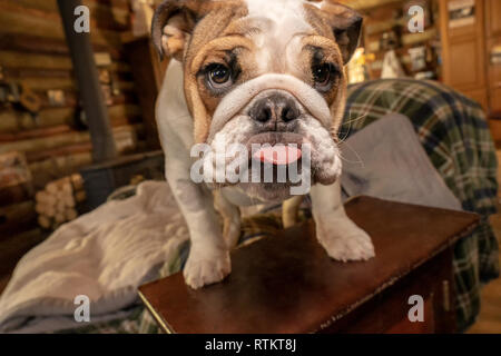 Issaquah, Washington, USA. Six mois vieux Bulldog anglais 'Pétunia' coller sa langue dehors. (PR) Banque D'Images