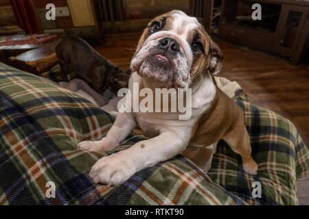 Issaquah, Washington, USA. Six mois vieux Bulldog anglais 'Pétunia' grimper sur le dos d'un canapé. (PR) Banque D'Images