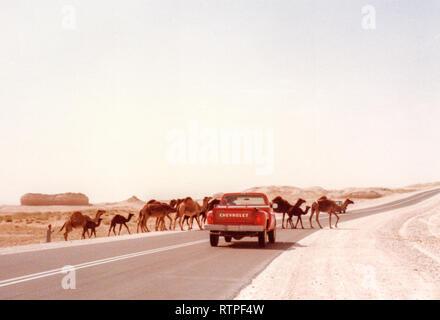 Un troupeau de dromadaire chameaux traverse la route en face d'une camionnette près de Abqaiq, l'Arabie Saoudite sur la façon d'Quarrayah Beach. Banque D'Images