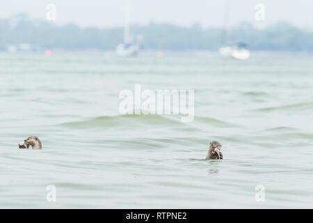 Loutre enduit lisse de manger des poissons fraîchement pêchés dans la mer en face de yachts amarrés à un club de voile