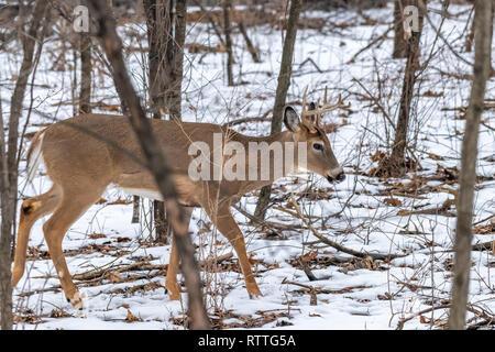 Le cerf de Virginie (Odocoileus virginianus) mâle avec bois en hiver. Banque D'Images