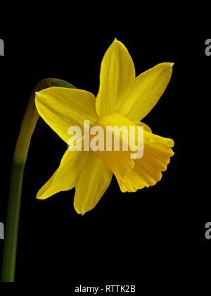 Se concentrer d'un seul gros plan empilés lumineux miniature fleur jaune jonquille (Narcissus tete a tete) isolé sur fond noir. Banque D'Images