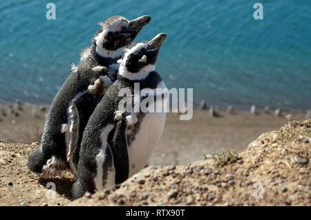 Les manchots de Magellan, Spheniscus magellanicus, San Lorenzo Pinguinera, la Péninsule de Valdès, Chubut, en Patagonie argentine