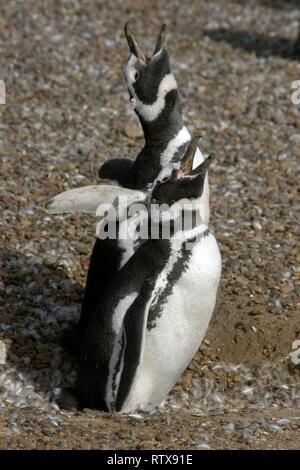 Magellanic Penguin, Spheniscus magellanicus, vocalisant, Pinguinera Punta Tombo, Rawson, Chubut, en Patagonie argentine