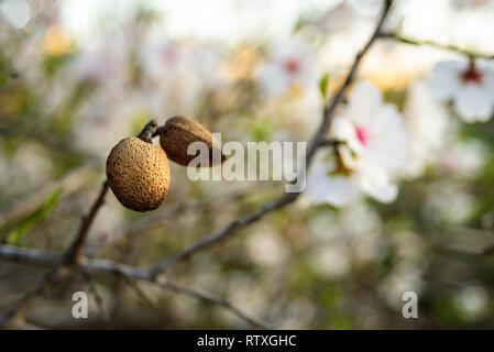 Fruits d'amande avec des fleurs on tree Banque D'Images