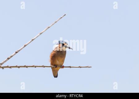 Martin-pêcheur huppé juvénile (Alcedo cristata) perché sur branche en été, Western Cape Afrique du Sud. Blue Sky with copy space Banque D'Images