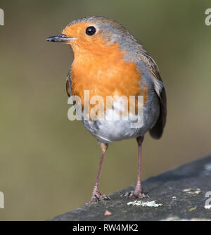 European Robin (erithacus) rebecula Banque D'Images