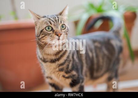 Beaux Cheveux courts chat jouant et couché sur le sol au jardin à la maison