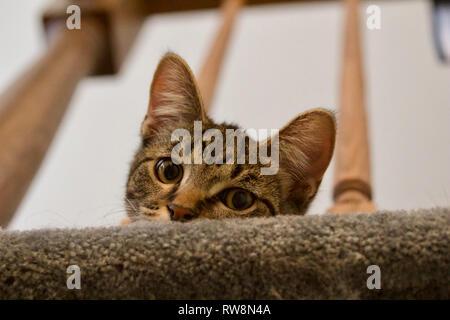 Un curieux jeune chaton tigré gris pairs sur un escalier balustres Banque D'Images