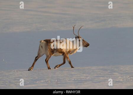 Le renne (Rangifer tarandus). Des profils trotting dans paysage de neige. L'Islande Banque D'Images