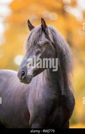 Paso Fino. Portrait de l'étalon noir en automne. La Suisse Banque D'Images