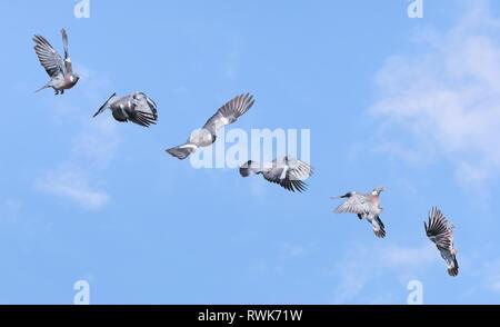 Des ramiers montrant plusieurs différentes étapes de vol, du décollage à l'atterrissage. Ramier voler. Des ramiers en vol l'ordre. Banque D'Images