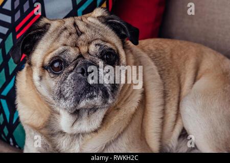 Portrait of a senior pug dog sur le canapé Banque D'Images