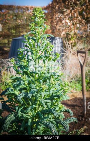 À la fin de l'hiver Plantes chou grandir et se préparer à fleurir et les semences. Avant d'atteindre la fin de vie de ces pousses tendres sont toujours comestibles Banque D'Images
