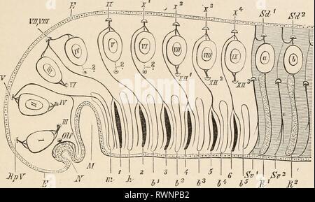 Éléments de l'anatomie comparative des éléments de l'anatomie comparée des vertébrés elementsofcompar00wied Année: 1886 le crâne. 55 Ainsi, une formation d'appui ferme pour elle, donne naissance au squelette de la mâchoire, ainsi que, dans la région de types supérieurs à la partie principale de la structure du visage. L'arches situées en arrière de cette fonction principalement comme gill-prend en charge. JtnV FIG. 41.-dessin illustrant le METAMEKIC PRIMITIVE CONDITION DE LA TÊTE. E, E, de l'épiblaste, qui, à n'est pour former le invaginée fosse olfactive primitif, l'épithélium est fournie par le nerf olfactif (OLF); JI, l'involu- tion orale Banque D'Images
