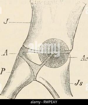 Éléments de l'anatomie comparative des éléments de l'anatomie comparée des vertébrés elementsofcompar00wied Année: 1886 1 FIG. 83A.-BASSIN D'UN SIX-jours de Poussin. (D'après A. Johnson.) .77, l'ilion, l'ischion; Js; pb, pubis; pp, de processus pectiné pubis. FIG. 83B.-Diagramme montrant LES RELATIONS DE L'OS DU BASSIN DE L'acétabule. J'ilion, l'ischion, Js;;; P, pubis, un os acétabulaire; Ac, l'acétabulum. -II Banque D'Images