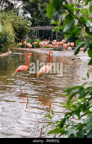 Paire de très beaux flamant rose d'un séjour au zoo du bassin et groupe de flamants roses sur la rive, Barcelone, Espagne