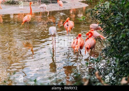 Volée de flamants roses dans l'étang à pied dans le parc zoologique, Barcelone, Espagne