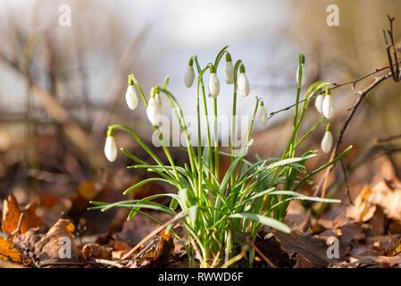 De belles fleurs de printemps dans la forêt. Perce-neige en face de ciel bleu trouble Banque D'Images