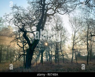 Les arbres de chêne d'hiver nues et tôt le matin le brouillard et la lumière du soleil à Blenheim park, Woodstock, Oxfordshire, Angleterre Banque D'Images