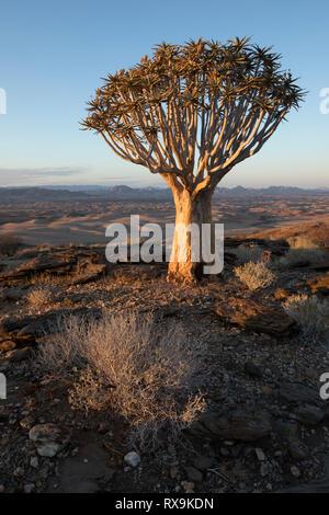 Un carquois kokerboom ou arbre sur une colline en Namibie. Banque D'Images