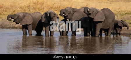 Un panorama d'un petit troupeau d'éléphants buvant à partir d'un trou d'eau dans le parc national de Hwange, au Zimbabwe Banque D'Images