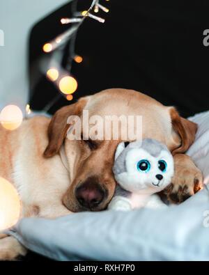 Mignon chien dormir dans le lit avec fluffy toy. Labrador de câlins avec toy dog in bed Banque D'Images