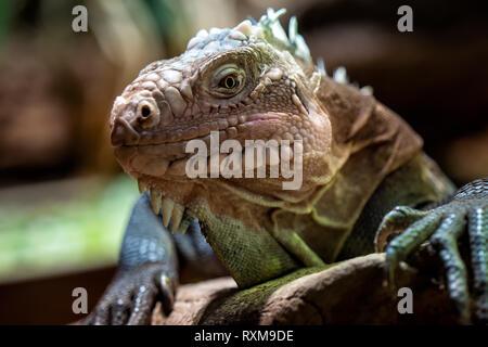 Lesser Antillean iguane, un gros lézard arboricole en voie de disparition