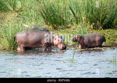 Avec les jeunes femmes d'Hippopotame (Hippopotamus amphibius) sur le bord du Nil Victoria dans Murchison Falls National Park, au nord de l'Ouganda, l'Afrique de l'Est Banque D'Images