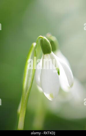 Snowdrop gros plan fleurs en premier plan avec un fond vert brouillé, flou, fond d'écran vertical, le printemps dans le jardin Banque D'Images