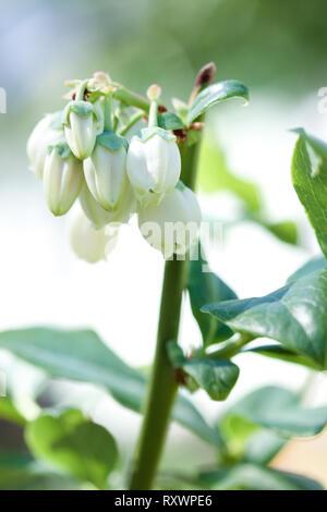Fleurs de Printemps de myrtilles Banque D'Images