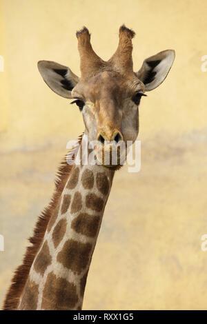 Communauté Girafe (Giraffa camelopardalis angolensis), également connu sous le nom de girafe namibienne.