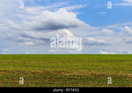 Paysage avec domaine de plants de soja en bleu ciel. Le Brésil, l'Amérique du Sud. Banque D'Images