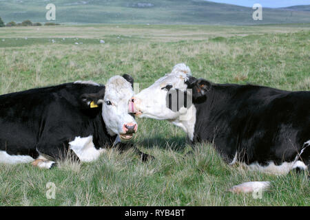 Friendly vaches près de Malham Tarn dans le Parc National des Yorkshire Dales. Banque D'Images