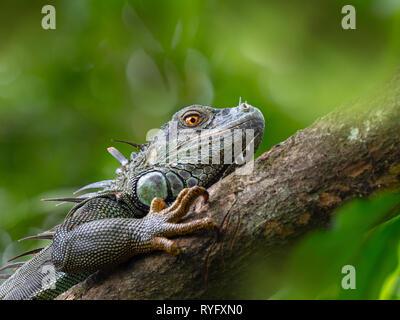 Green iguana Iguana iguana Costa Rica