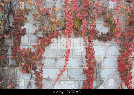 Les feuilles de couleur vive la pendaison, Linyi City, Shandong Province, China.