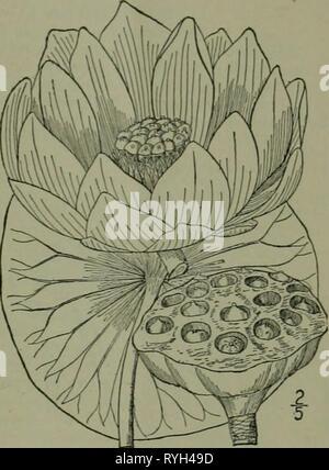 Une flore illustrée du nord des États-Unis, le Canada et les possessions britanniques: de Terre-Neuve jusqu'au parallèle de la limite sud de la Virginie et de l'océan Atlantique à l'ouest jusqu'à la 102e méridien d'illustratedflo2ED02brit Année: 1913