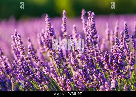 Provence, Francce. Champ de lavande au coucher du soleil d'été paysage près de Valensole Banque D'Images