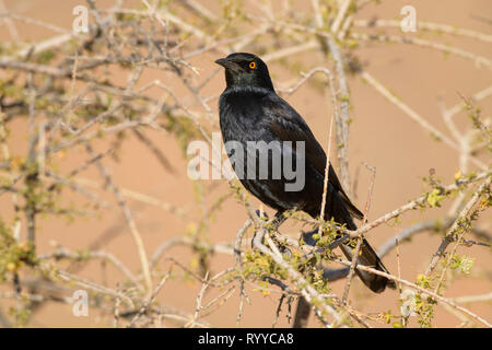 Pale-winged Starling - Onychognathus nabouroup starling, endémique du sud de l'Afrique, le désert de Namib, Sossusvlei, Namibie. Banque D'Images