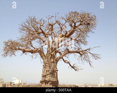 Baobab assis sur la colline parlementaire à Dakar, Sénégal, Afrique de l'Ouest Banque D'Images