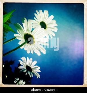 Poussant daisies Banque D'Images