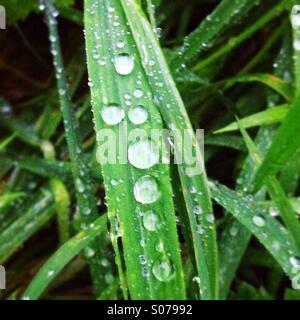 Les gouttelettes d'eau sur un brin d'herbe Banque D'Images