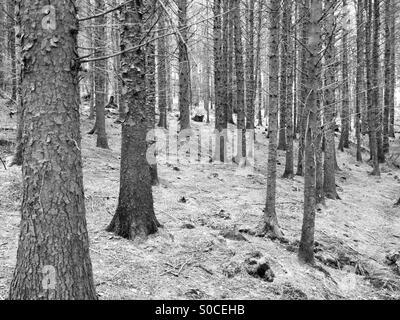 Photo en noir et blanc prises dans Tollymore Forest Park, l'Irlande du Nord 28-03-15 Banque D'Images