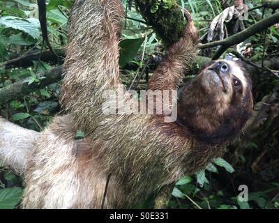 Trois-toed sloth dans un arbre. Banque D'Images