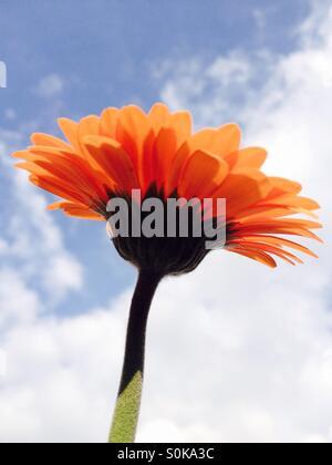 Gerbera flower avec un fond de ciel d'été