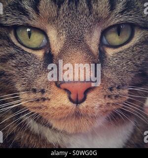 Chat tigré portrait.