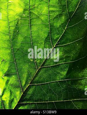 Close-up d'une feuille verte. Banque D'Images